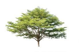 tree isolated on white background stock photo 09 backgrounds
