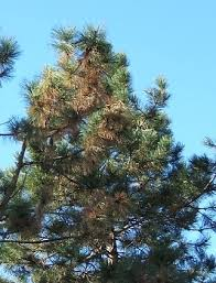 why are my pine trees dying real estate omaha nebraska news