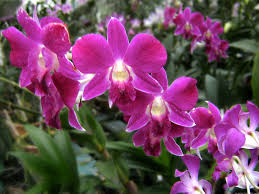 orchid flowers file orchid flowers jpg wikimedia commons