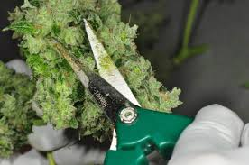cannabis flower why shake trim is just as good as cannabis flower if not better