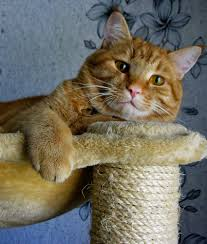 are all ginger cats male the link between coat color and gender