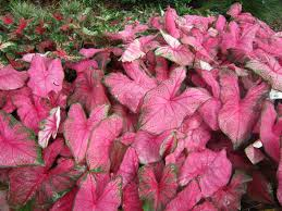 85 best caladiums images on pinterest bulbs plant and castle