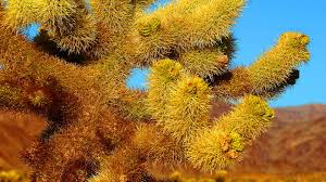 mojave desert native plants joshua trees