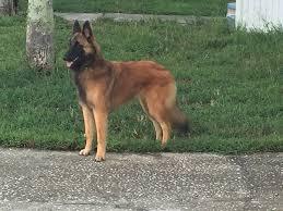 belgian sheepdog rescue florida coko belgian tervuren home facebook