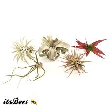 plant of the month club itsbees 12 month air plant of the month club membership live