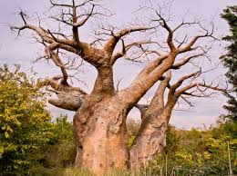 baobab myths and stories