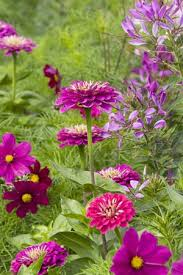 grow together zinnia cosmos and cleome envy pinterest