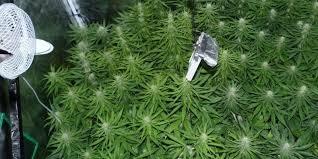 best light for weed seedlings flowering stage for indoor marijuana plants