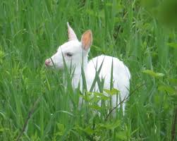 protect the white deer