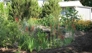 native pond plants for sale eastern red cedar in the landscape virginia native plant society