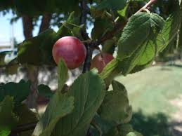 east texas native plants fruit trees for east texas home decorating interior design