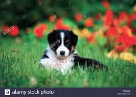 australian shepherd x border collie puppies australian shepherd x border collie canis lupus familiaris