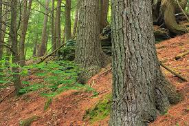 white pine trees maine state tree white pine