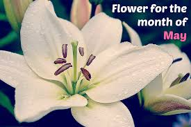 Flower Of The Month Flower Of The Month Of May Lily Of The Valley Lilies