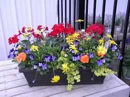 diy window flower boxes window box idea red caliente geraniums yellow euryops blue