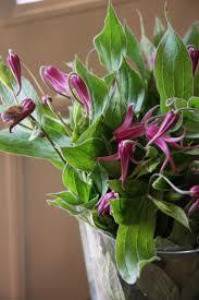 206 best love clematis images on pinterest flower gardening