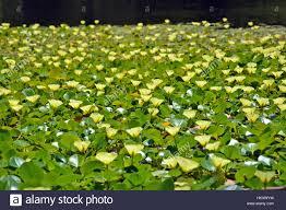 australian native plants sydney flower australian native plant river stock photos u0026 flower