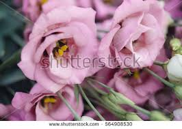 Lisianthus Lisianthus Stock Images Royalty Free Images U0026 Vectors Shutterstock