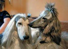 afghan hound hairstyles afghan fci group 10 sighthounds pinterest photos afghan