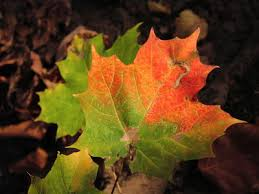 what causes leaves to change color farmers almanac