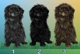 affenpinscher coat type dog breed pictures and photos for dog choices