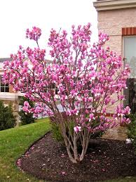 saucer magnolia tree can u0027t wait for mine to start blooming we