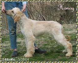 afghan hound pictures photos of 5 month old afghan hound puppies cute monkey whiskers 3g