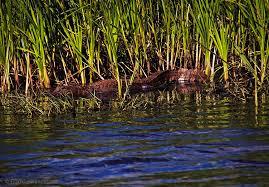 Louisiana wildlife images Alligator basking sabine national wildlife refuge cameron jpg