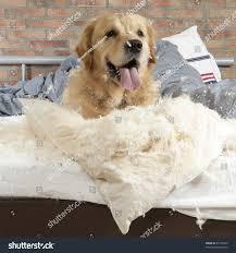 golden retriever dog demolishes pillow on stock photo 81106924