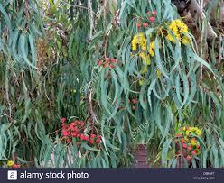 beautiful ornamental west australian illyarrie mallee tree stock