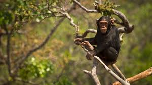chimpanzee tree eating ngsversion 1396530448262 jpg