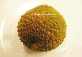 lychee fruit inside litchi tree pictures photos images u0026 facts on lychee trees