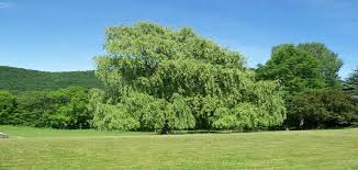 should i plant a weeping willow bower branch