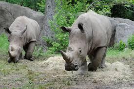 julie larsen maher 9346 southern white rhinos zcr bz 05 07 12 jpg