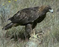 golden eagle audubon field guide