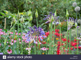 agapanthus and ornamental alliums coming onto flower stock photo