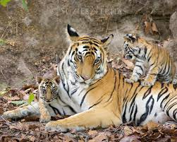 tiger and cubs photo baby prints by suzi