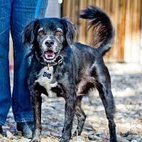 afghan hound rescue az phoenix az pet adoption brittany rescue az has dogs puppies