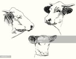 cattle vector art getty images