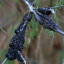 black knot disease in cherry trees barts tree service