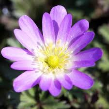 anemone plant anemone planting guide easy to grow bulbs