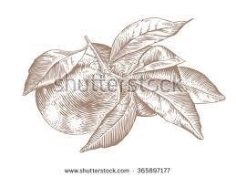 drawing branch orange fruits leaves stock vector 365897177