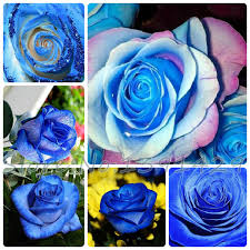 blue roses for sale 200pcs blue stripe flowers seeds bush blue