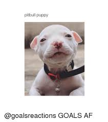 Pitbull Puppy Meme - 25 best memes about pitbull puppies pitbull puppies memes