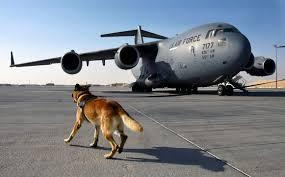 belgian malinois vest war dog breeds archives media