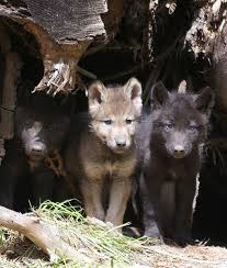Oregon wild animals images 82 best oregon wildlife images wildlife oregon jpg