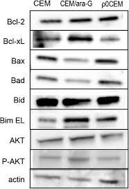 bad bid protein levels of bcl 2 bcl xl bax bad bid bim el