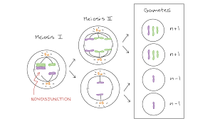 How Many Chromosomes Does A Somatic Cell Have Aneuploidy U0026 Chromosomal Rearrangements Article Khan Academy