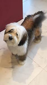 hair cuts for the tebelan terrier 753 best tibetan terriers images on pinterest tibetan terrier