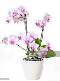 Flower Orchid Flower Pot Stock Photos And Pictures Getty Images